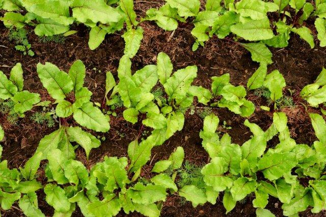 пикировка овощей в открытом грунте