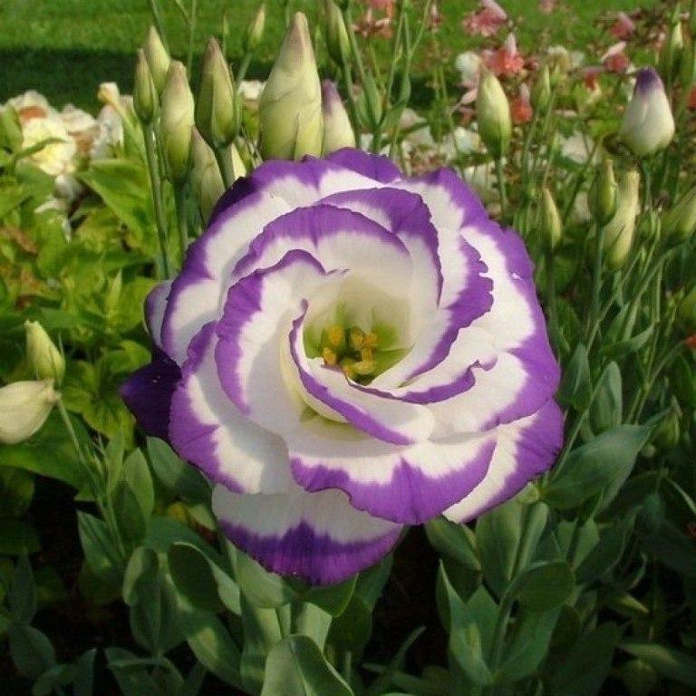 Эустома украсит ваш сад