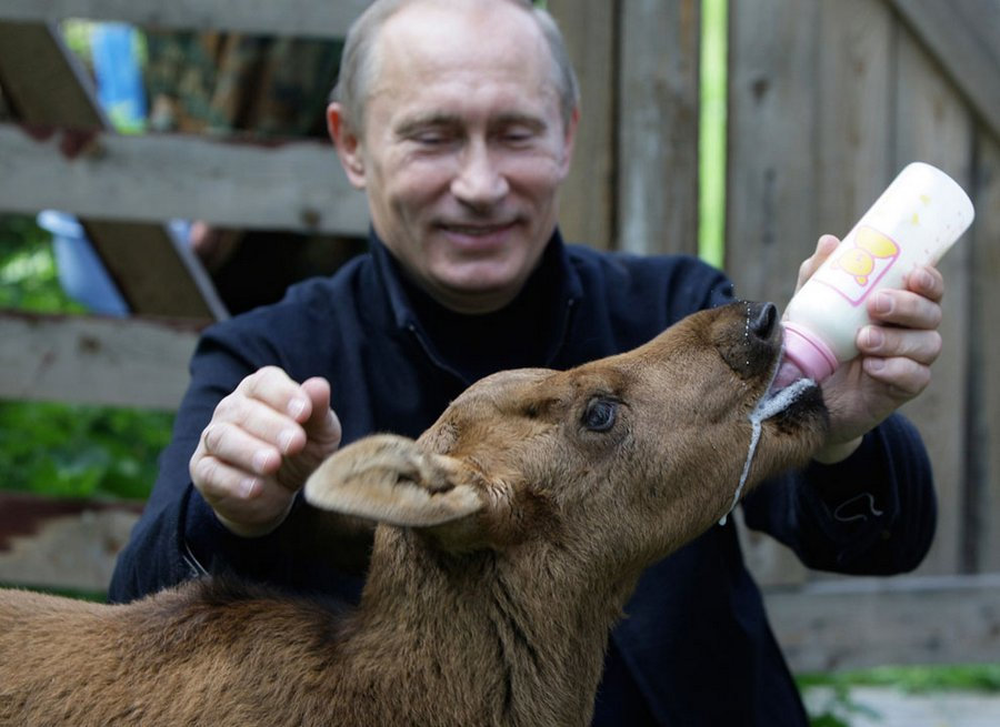 "VV  Putin feeds a calf in the nature reserve ""Elk Island"" near Moscow, June 5, 2010."