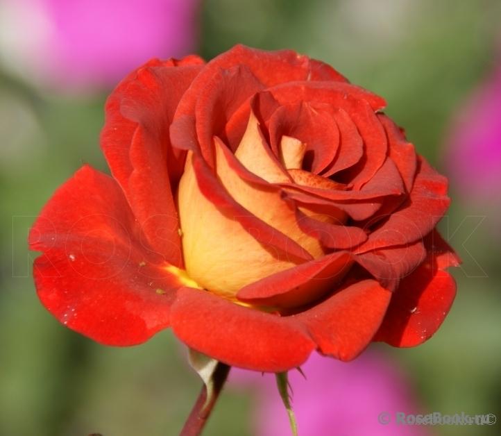 Форма цветков роз