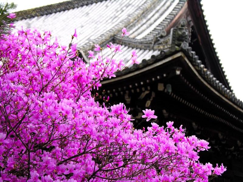 Розовая сакура на фоне пагоды. Япония. Фото