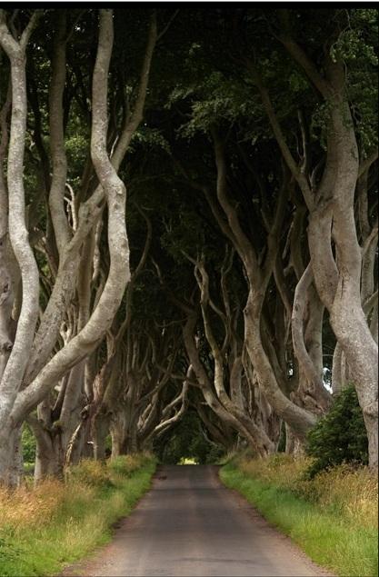 Таинственный лес, или Темная аллея буков в Ирландии. Фото