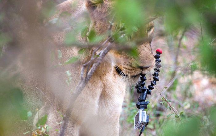Наблюдать за львиным прайдом — непростое и затратное занятие