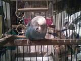 Из жизни волнистого попугая
