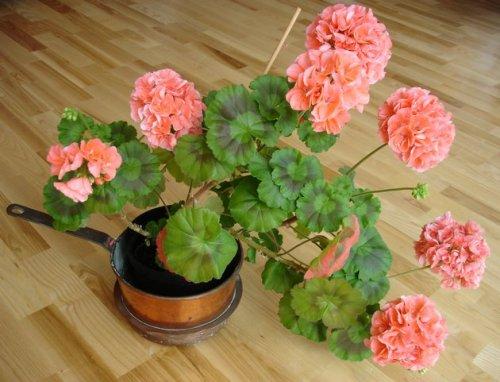 Уход за геранью в домашних условиях и способы выращивания