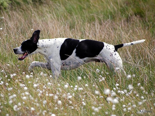 Лучшие охотничьи собаки