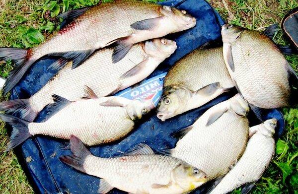 Как варить мамалыгу для рыба…