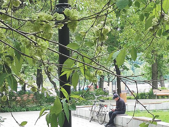 Китайцев обвинили в массовом обдирании московских деревьев