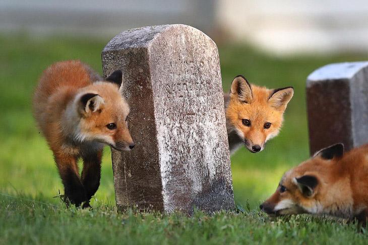 Лисья семья поселилась на кладбище