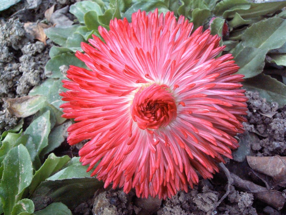 Цветет маргаритка