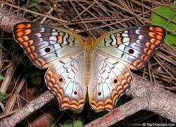 Великолепный мигрирующий монарх.