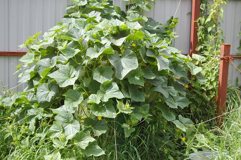 Выращивание огурцов в бочке станет украшением вашего дачного участка