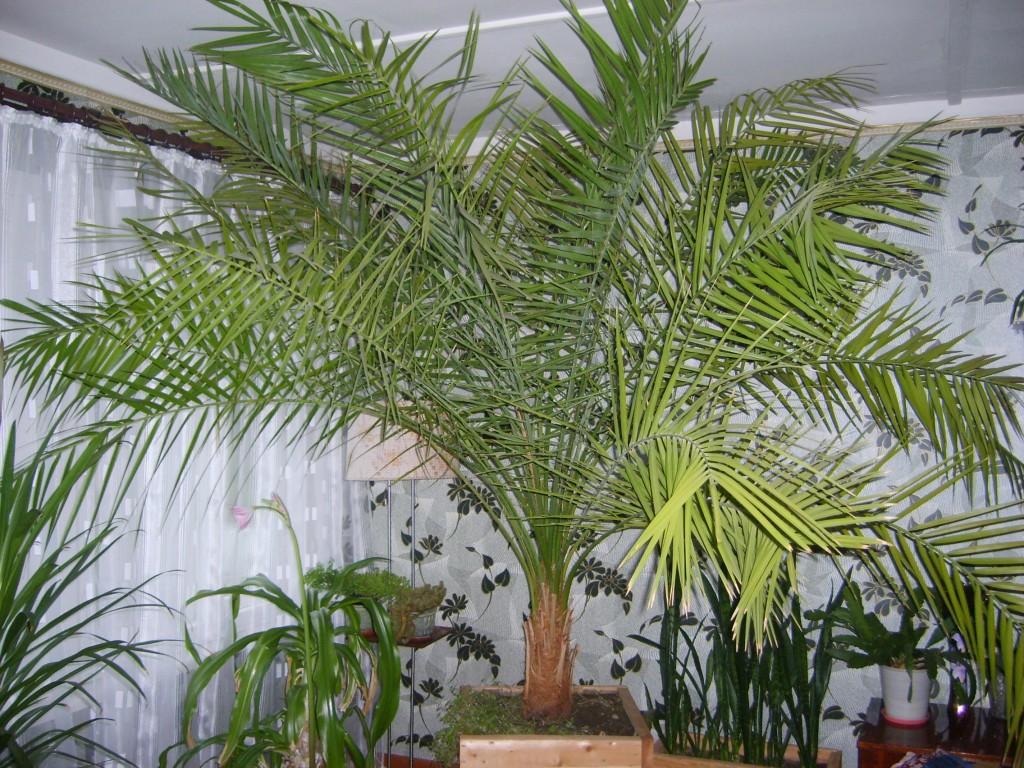 Как выращивать финиковую пальму из косточки в домашних условиях
