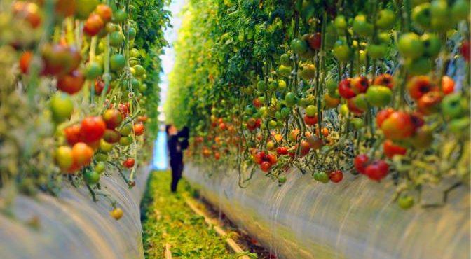 Почему работники теплиц не едят свои помидоры