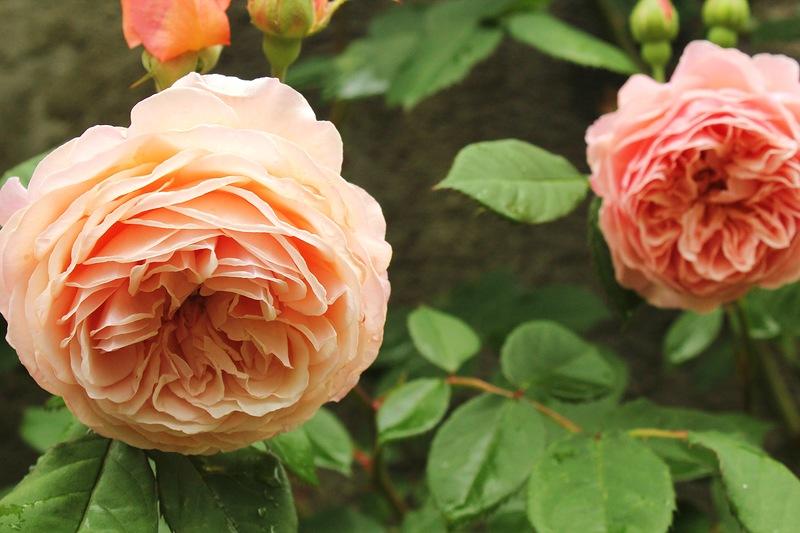 Викторианские розы