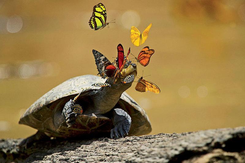 Зачем южноамериканские бабочки пьют слезы черепах