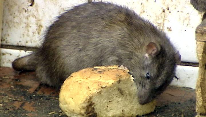 Зоозащитники обвинили власти Парижа в геноциде крыс