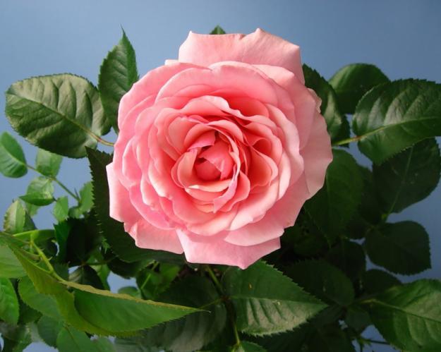 Подготовка комнатных роз к зиме