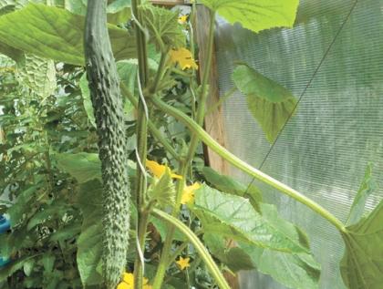 Огурец салатного назначения - как выращивать гибридные овощи?