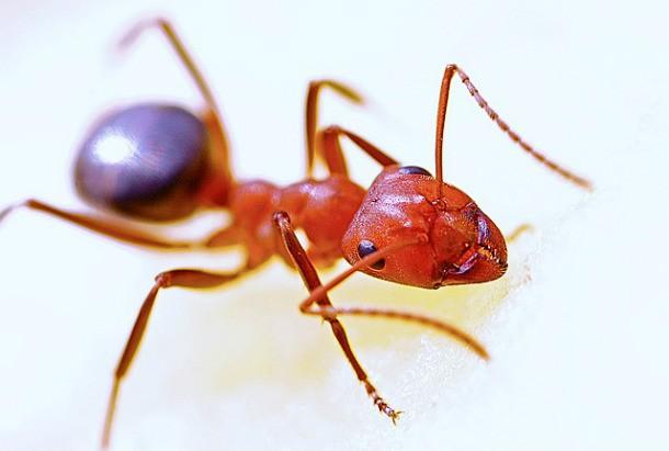 ant-610x411