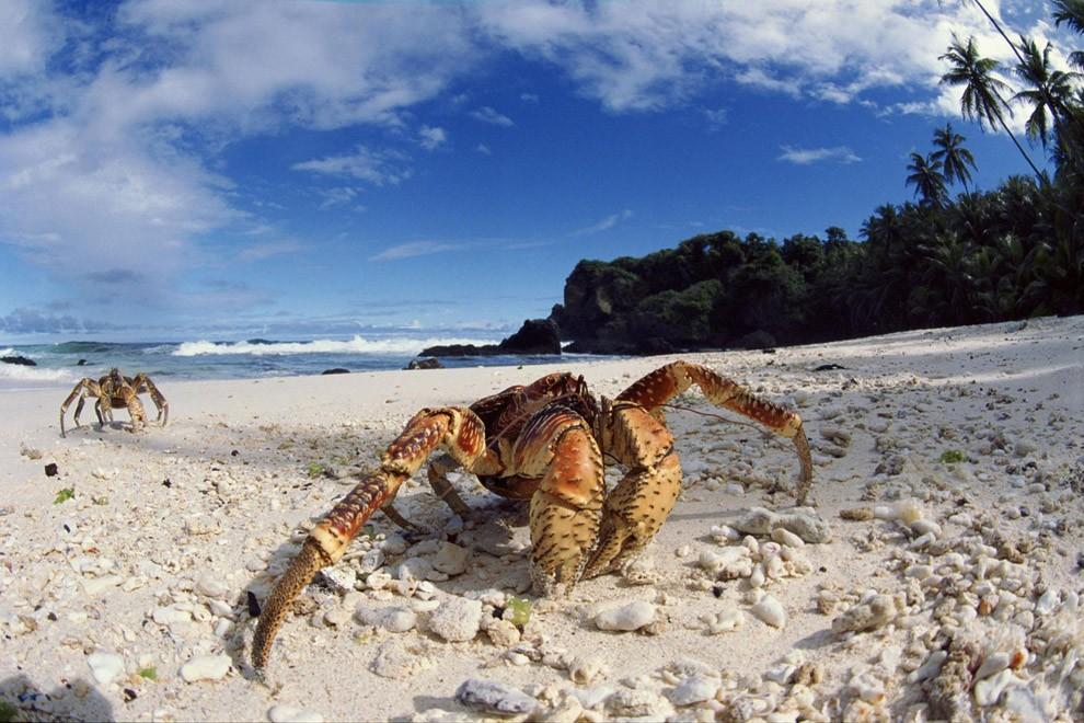 Coconutcrab19 Самый крупный представитель членистоногих, кокосовый краб!