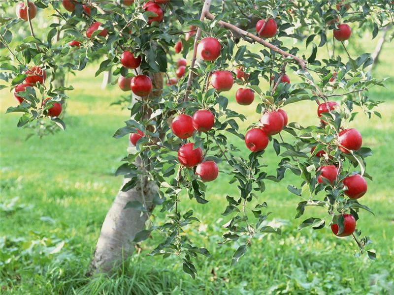 Можно ли сажать яблоню на место старой?
