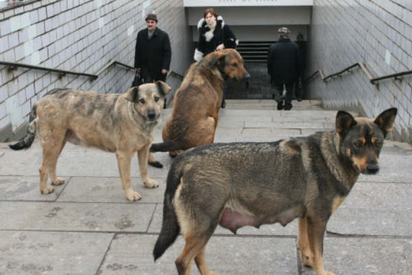 Стая бродячих собак спасла девочку от насильника-педофилаСпециалисты...