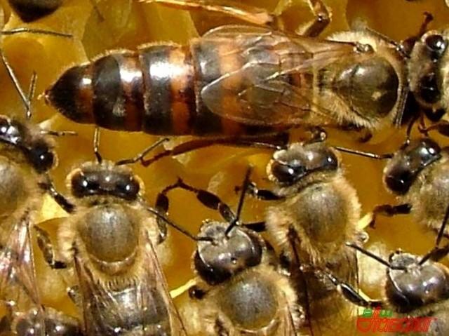 купить пчелопакет в новошахтинске действительно качественное вкусное