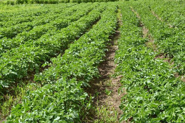 Как возродить убитую почву: картофельное поле без трактора и плуга