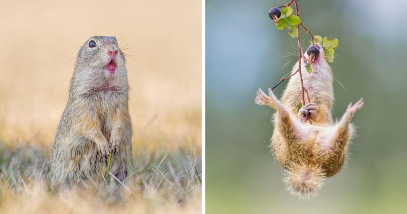 Суслики - самые умилительные создания на Земле! (21 фото)
