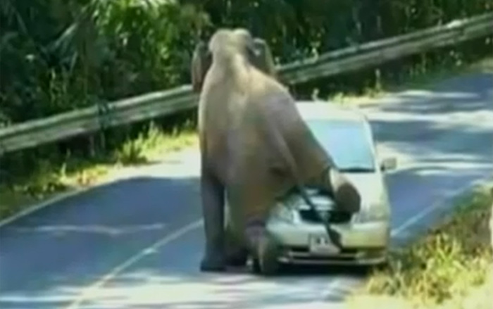 Необычное ДТП: слон растоптал автомобили (ВИДЕО)