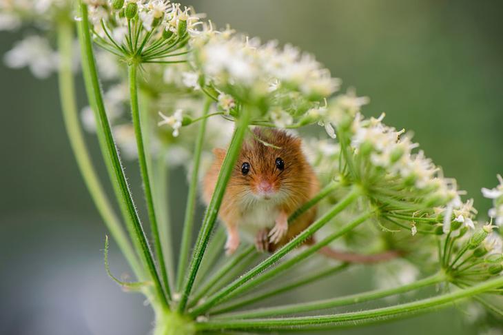 Крошечное очарование - 28 фотографий мышей в природе