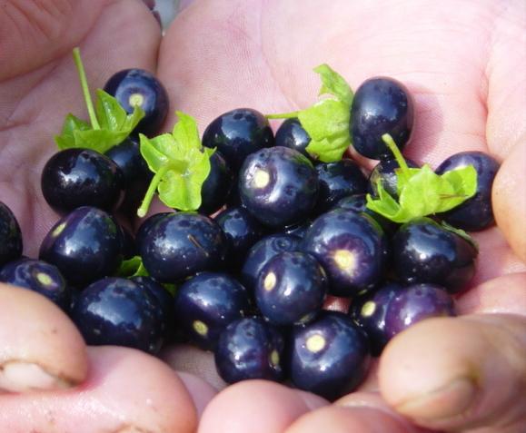 Сараха - паслен со вкусом черники