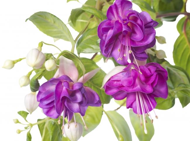 Цветы комнатные неприхотливые