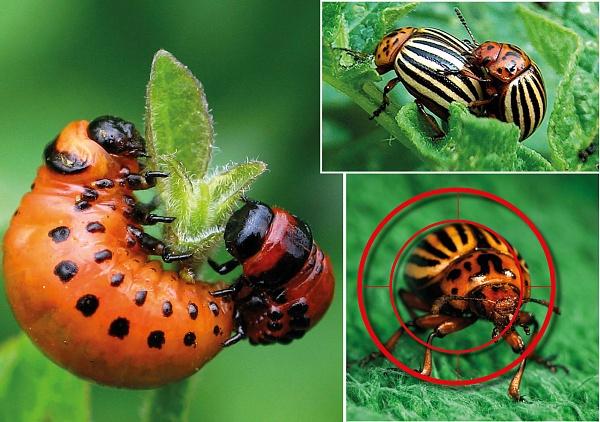 Избавляемся от колорадского жука горчицей и уксусом