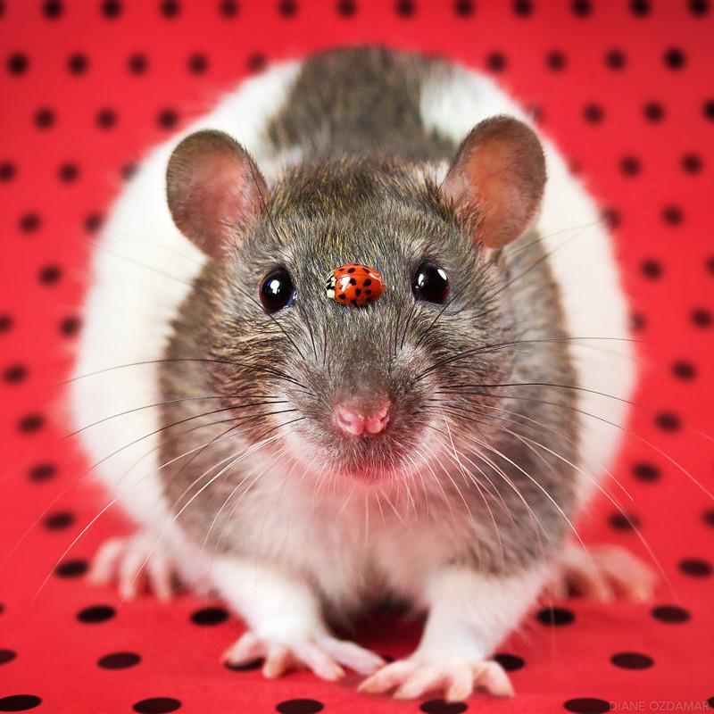 Очаровательные портреты, которые изменят ваше представление о крысах