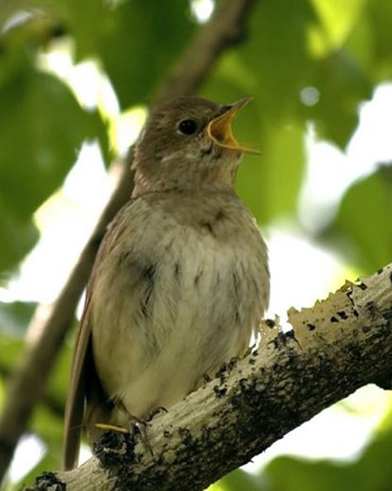 Скачать звук природы пение птиц