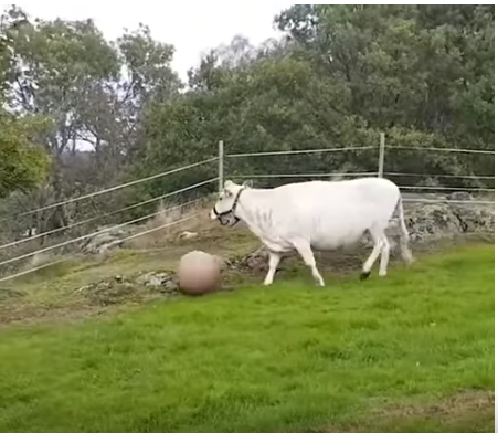 Корова-футболистка, которая ведет себя, как веселая собака))