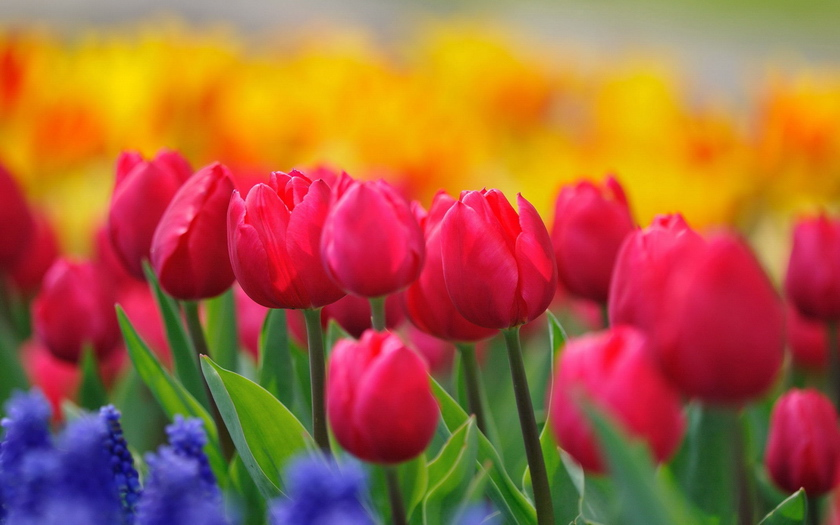 бутоны, тюльпаны, стебли, цветы