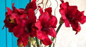 Алые цветы гиппеаструма