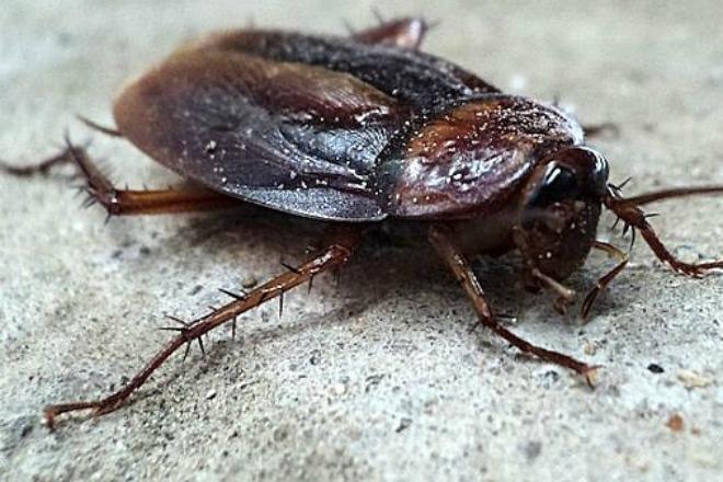 Таракан с выносливостью спецназа: он выживет даже в аду