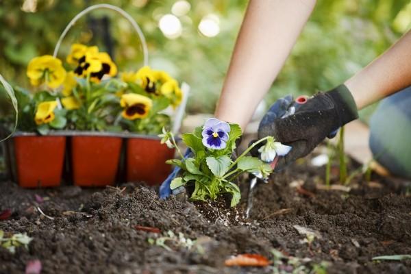 Виола цветы выращивание из семян осенний посев 20