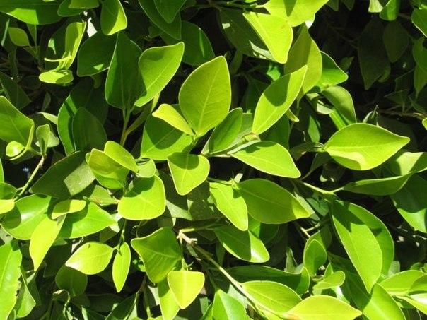 Что может лечить лист лавровый.