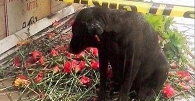 """""""Турецкий Хатико"""" ждёт возвращения погибшего в теракте хозяина-полицейского"""