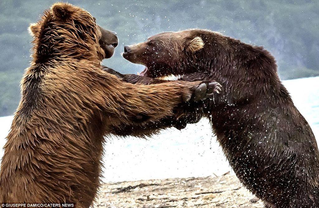 Как два медведя боролись за рыбку