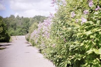 Зеленый забор: живая изгородь на даче