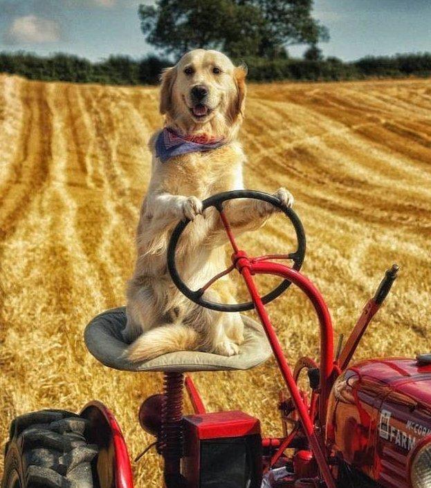 Пес-тракторист помогает своему хозяину на ферме