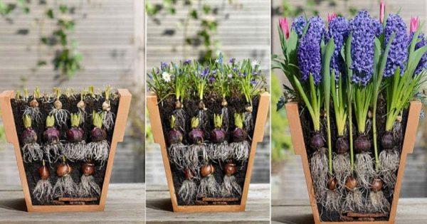 Как красиво посадить  луковичные цветы -  необычный способ