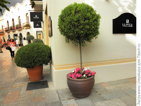 Кадочное растение в городском озеленении, Испания, Барселона