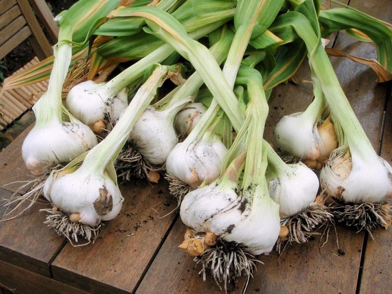 Как вырастить чеснок дома на подоконнике: садим чеснок в горшке
